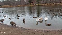 swans and geese in a pond